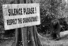 A male orangutan at Camp Leakey of Tanjung Puting National Park, West Kotawaringin regency, Central Kalimantan. Image credit: Darren Whiteside/Reuters
